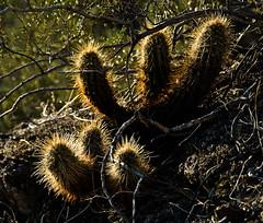 Teddy Bear Cholla (Cylindropuntia bigelovii)