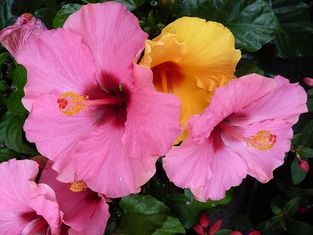 Hibiscus rosa-sinensis (Evergreen flowering shrub)