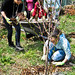 Mulching a tree