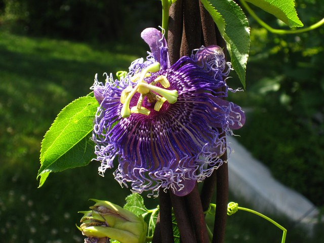 A 'Blue Passion Flower' (Passiflora caerulea) first Introduced in 1699, blooms in the Annual Border display.