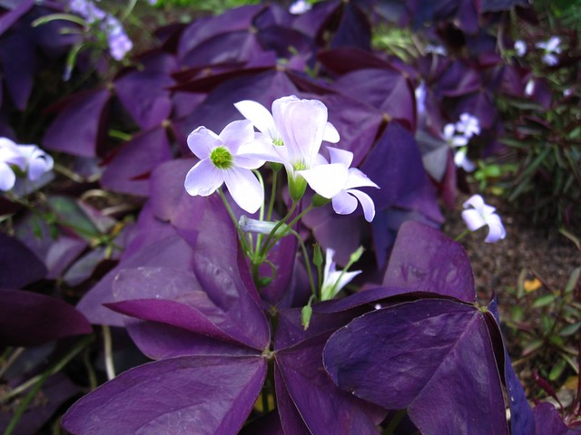Oxalis Triangularis grows in the Annual Border.