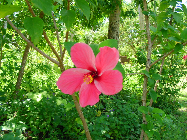 Tropical Island Flowers: Tropical Flowers - Manus Island