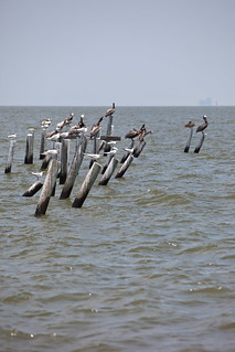 Sea Birds in Dauphin Island, Alabama