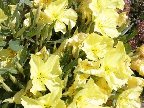 Oenothera macrocarpa - Silver Blade Evening Primrose