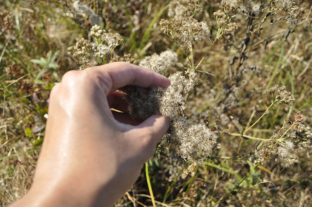 Collecting a Eupatorium species. Photo by Anjali Satyu.