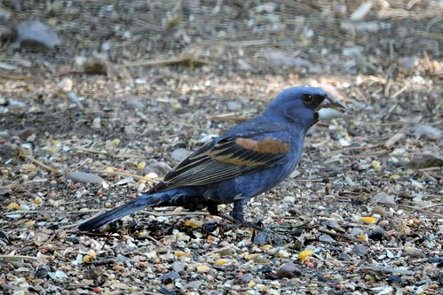 #52 Blue Grosbeak (Lifer #162)