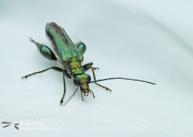 Thick legged beetle - hand held in camera autostack 8 images