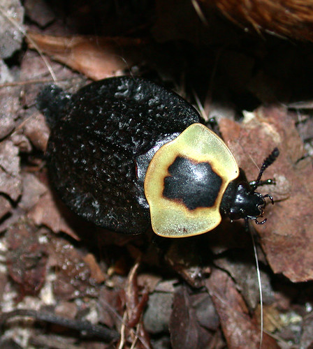 BONELUST - American Carrion Beetle Next to Dead Rabbit