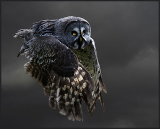 Grey grey owl takes to the sky