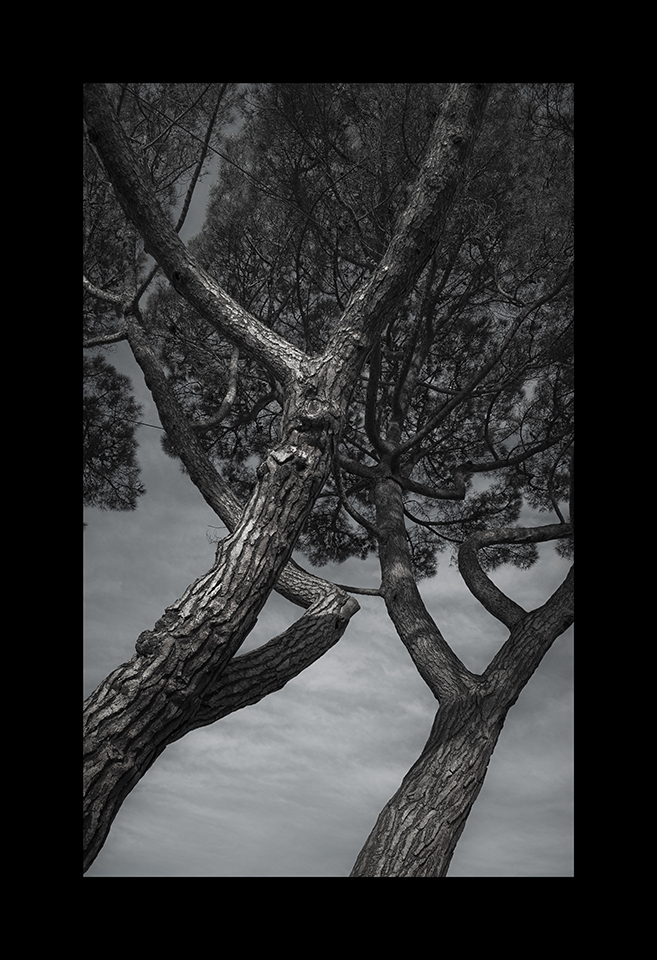 Photography: Stone Pine by Nicholas M Vivian