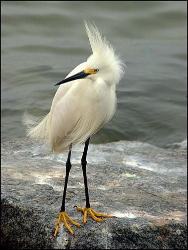 nikon florida egret panamacitybeach snowyegret wadingbirds standrewstatepark floridastateparks nikond40x floridaoutdoors