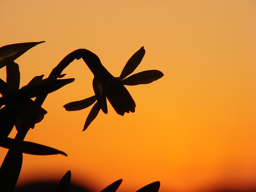 sunset nature silhouette japan sony daffodil naturesfinest supershot theunforgettablepictures