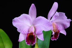 Cattleya percivaliana (Bouquet X Summit)