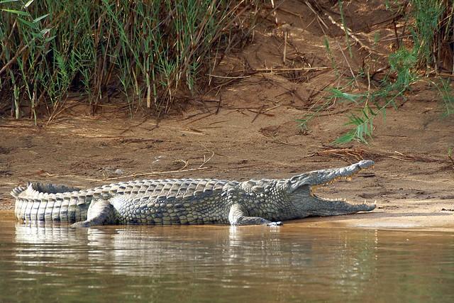 Questões e Fatos sobre Crocodilianos gigantes: Transferência de debate da comunidade Conflitos Selvagens.  - Página 2 4348199045_ca284ea3af_z
