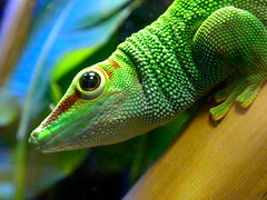 western green mamba(0.0), african chameleon(0.0), mamba(0.0), elapidae(0.0), lacerta(0.0), dactyloidae(0.0), beak(0.0), animal(1.0), green lizard(1.0), reptile(1.0), lizard(1.0), macro photography(1.0), green(1.0), fauna(1.0), close-up(1.0), scaled reptile(1.0),