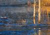 Wood Ducks in the Early Morning by Woolmarket100