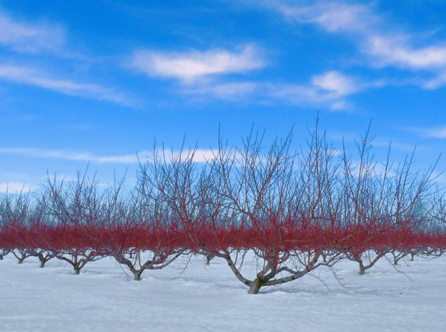 Blue Red and White orchard