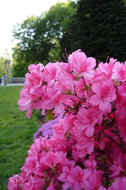 An Azalea blooms in the Osborne Garden