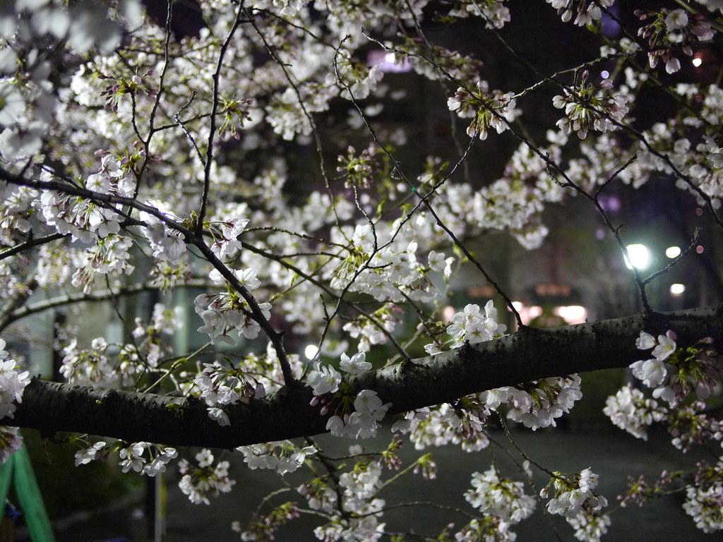 cerezos de noche