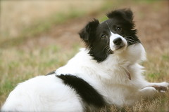 border collie, dog breed, animal, dog, pet, landseer, phalã¨ne, carnivoran,