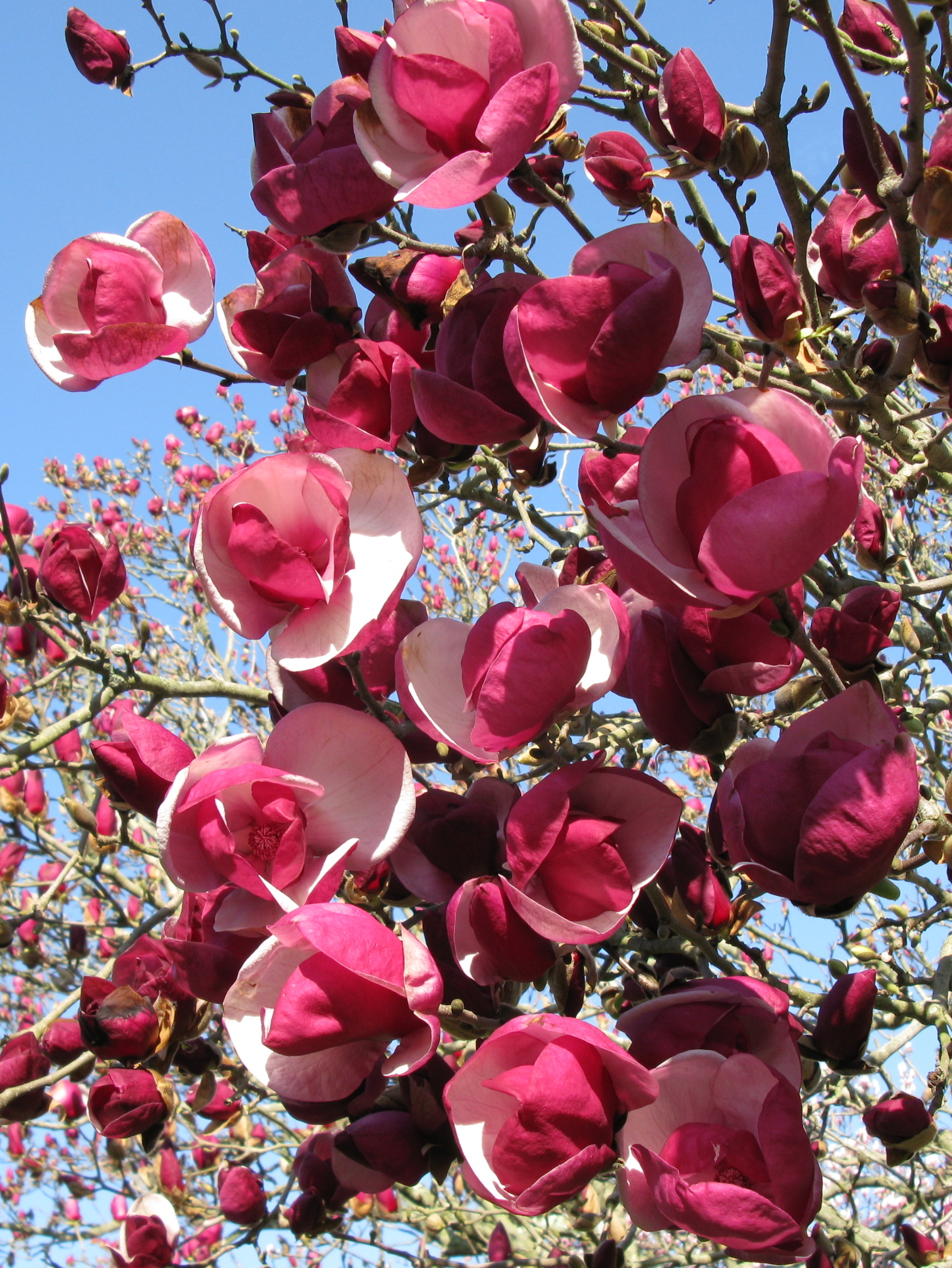 magnolia x soulangiana 39 alexandrina 39 flickr photo sharing. Black Bedroom Furniture Sets. Home Design Ideas