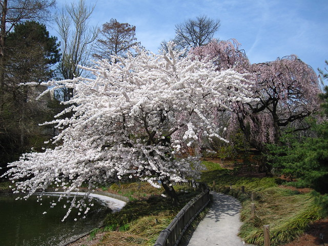 Prunus yedoensis, commonly known as Yoshino Cherry, in full bloom at BBG. Photo by Rebecca Bullene.