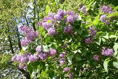 syringa vulgaris_2540