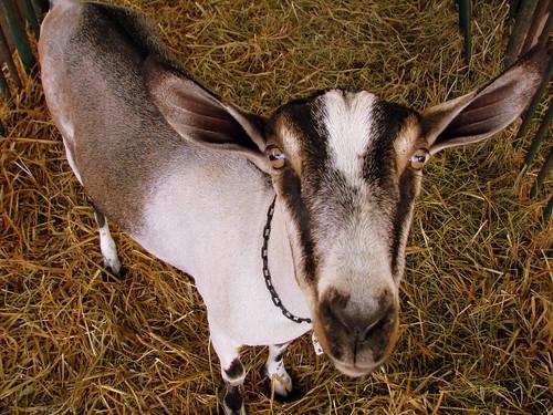 09 TN State Fair #91: Goat