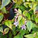 Small photo of Abelia x grandiflora 'Francis Mason'