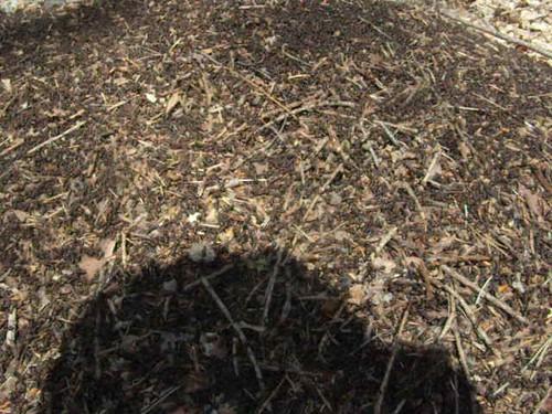 Wood ants nest
