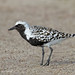 Black-Bellied Plover in Breeding Plumage by vanessa hilliard