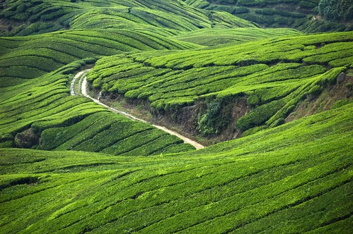 tea malaysia plantation