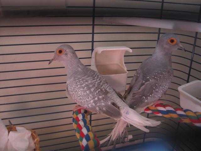 Zoología - ¿Las palomas y las palomas se abstengan de acicalarse después de que su compañero de por vida muere? - Ciclos de intercambio de pilas