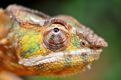 Chameleon? Lizard brain? Staying on track and productive