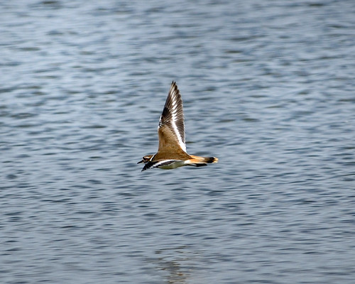 DSC_0148  Flying Killdeer