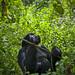 Gorilla, Rwanda by Eric Lafforgue