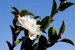 Camellia sasanqua ´Asakura´