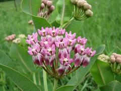 Smooth Milkweed (Asclepias sullivantii)