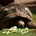 Small photo of Aldabra Tortoise
