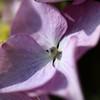 Photo:Hydrangea macrophylla / 額紫陽花(ガクアジサイ) By TANAKA Juuyoh (田中十洋)