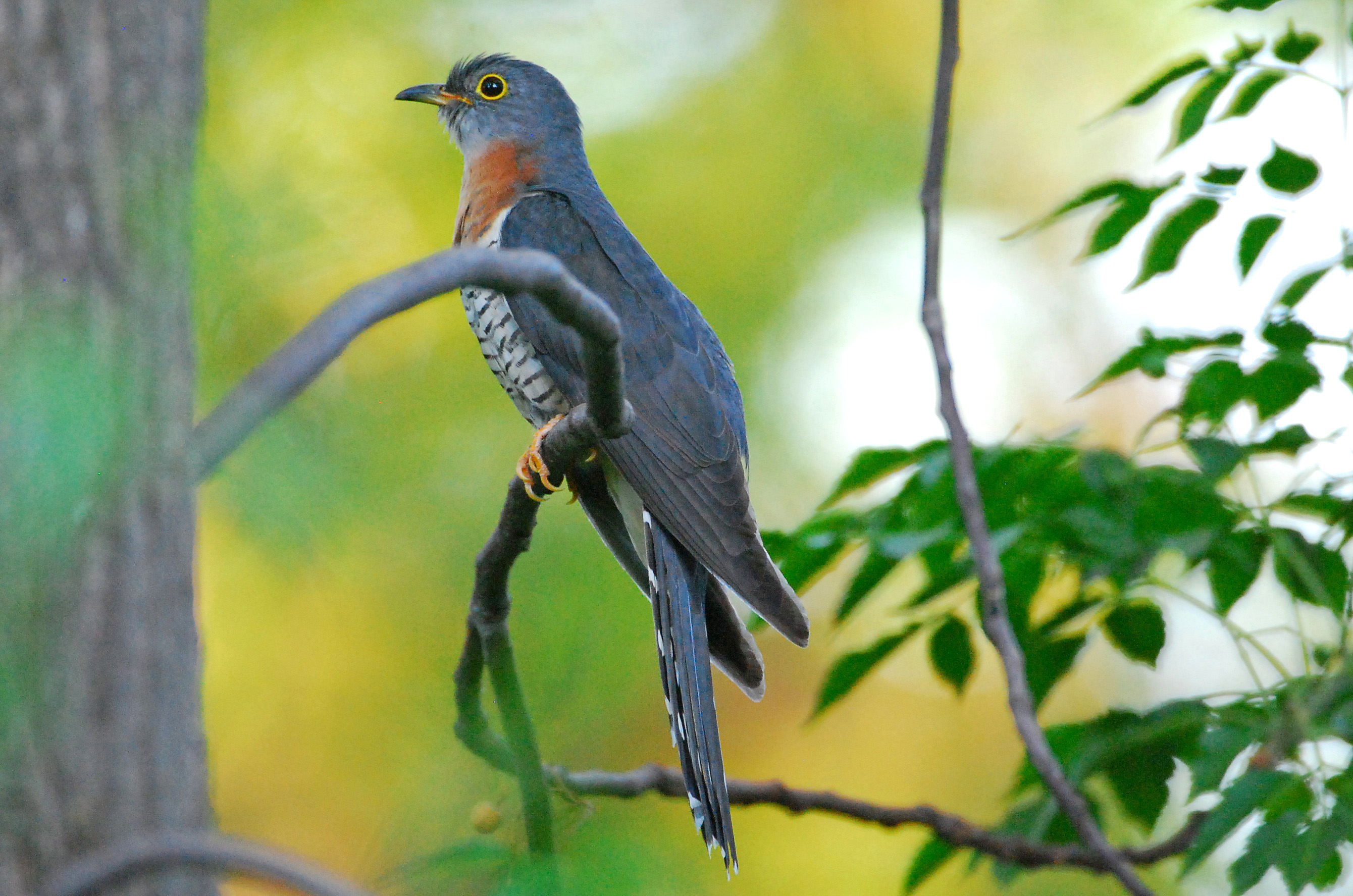 Image result for red-chested cuckoo