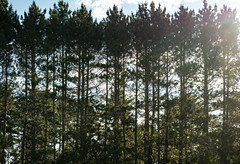 Park Point Pines, Duluth