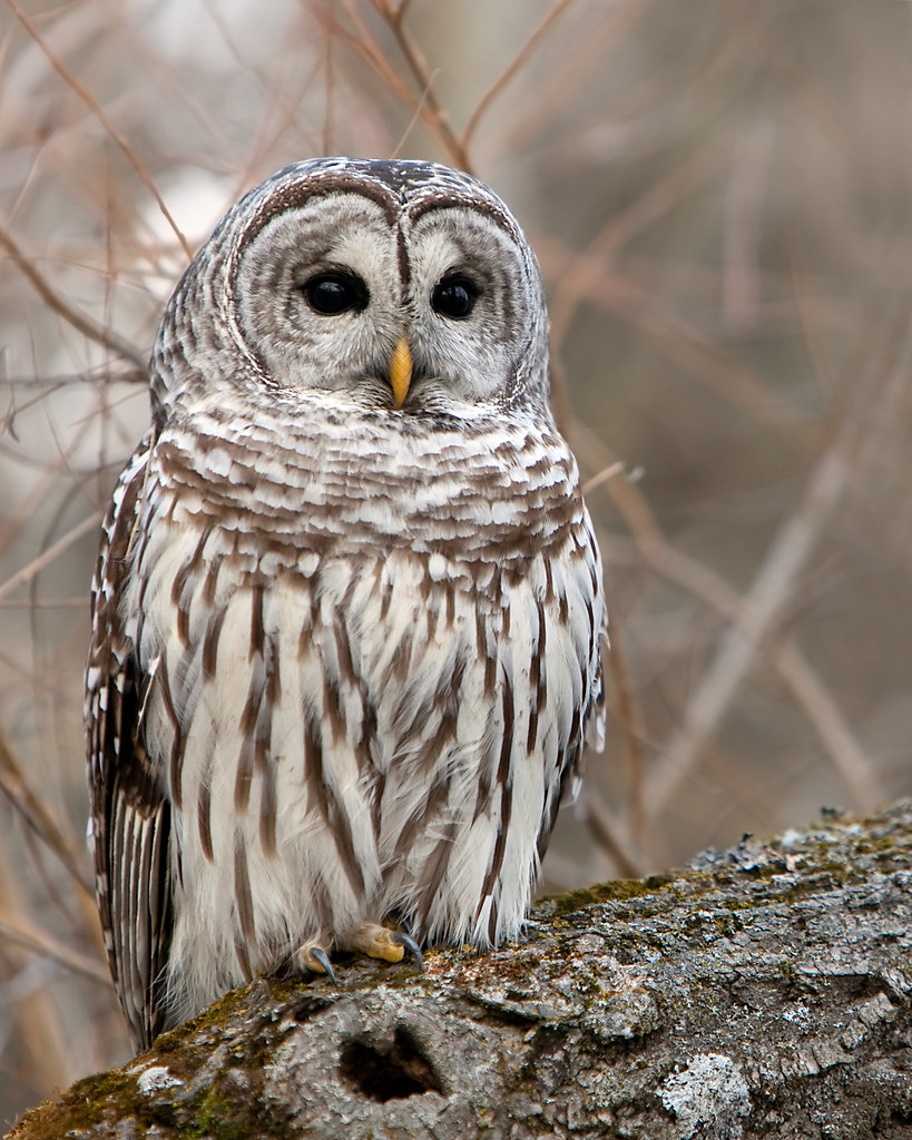 MLorenz Photography: Who's Watching Who? Wild Barred Owls ...