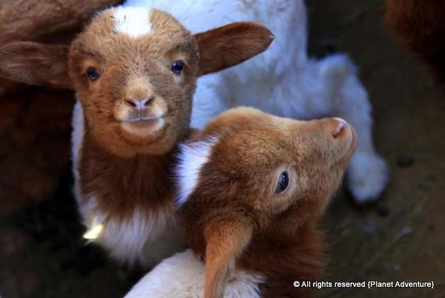 Lambs - Todra Gorge - Morocco