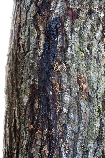 Damage From Gold Spotted Oak Borer Flickr Sharing