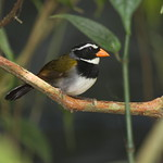 Tohi à bec orange du Costa Rica