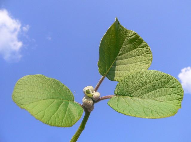 Kiwi leaves actinidia chinensis flickr photo sharing for Kiwi albero