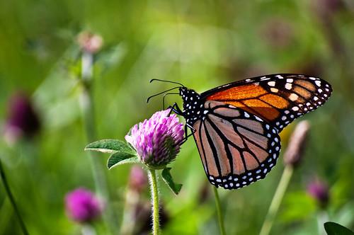 flowers usa nature butterfly outdoors nikon unitedstates unitedstatesofamerica butterflies insects lepidoptera monarch wildflowers creatures linnaeus d90 danausplexippus danaidae