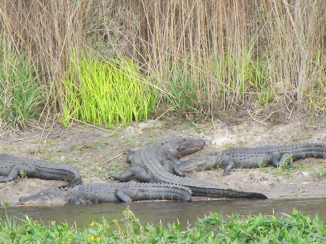 Alligator Alley Flickr Photo Sharing