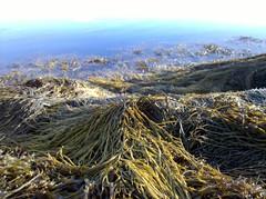 Tendrils of Seaweed